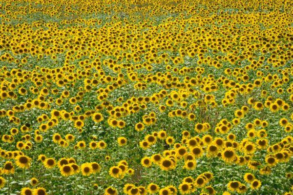 Champs de tournesols dans le sud de la France